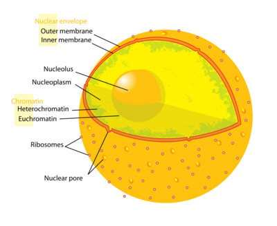 Cell nucleus.png
