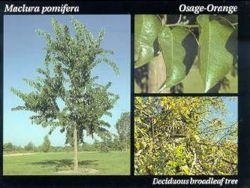 Osage Orange.JPG