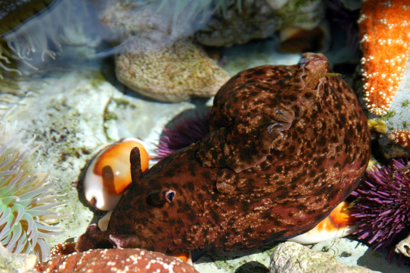 File:Sea Hare- Eye.jpg