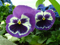 Pansy main picture.jpg