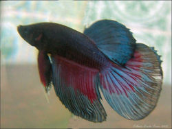 Siamese fighting fish - CreationWiki, the encyclopedia of ...  Siamese fightin...