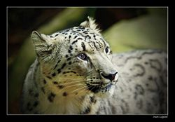 Snow leopard big.jpg