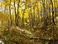 Autumn Aspens.jpg