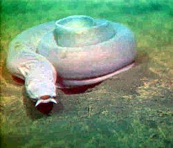 Pacific Hagfish.jpg