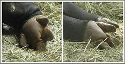 Tapir hooves.jpg