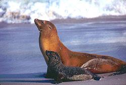 California sea lion1.jpg