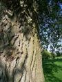 Black poplar bark.jpg