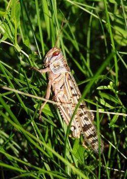 Desert locust.jpg