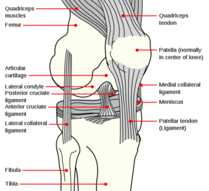 Knee anatomy.png