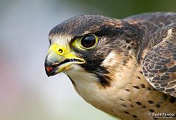 Peregrine falcon1.jpg