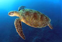 Australia-pacific-loggerhead-web-600x410.jpg