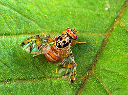 Mediterranean fruit fly.jpg