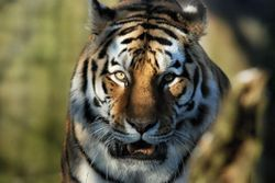 Siberian TIger Close Up.jpg