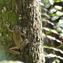 Cuban tree frog on tree.jpg