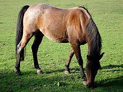 Horsegrazing.jpg