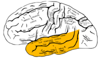 Lobes of the brain - CreationWiki, the encyclopedia of creation ...